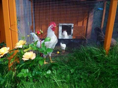 Bilde av hane.